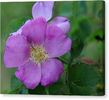 Wild Rose Canvas Print by Harvey Dalley