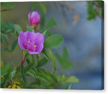 Wild Rose Canvas Print by Jenessa Rahn