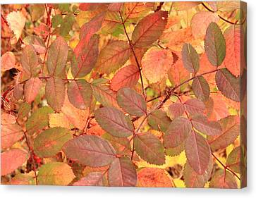 Wild Rose Leaves In Autumn Canvas Print by Jim Sauchyn