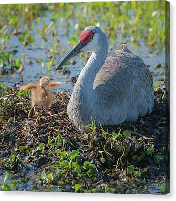 Wild Sandhill Crane Feeding First Colt Canvas Print by Maresa Pryor