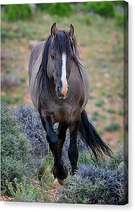 Bighorn Canyon National Recreation Area Canvas Print - Wild Stallion by Greg Norrell