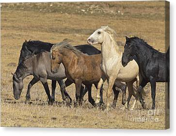 Wild Stallion Herd Pryor Mountain Canvas Print by Yva Momatiuk and John Eastcott