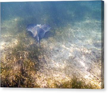 Canvas Print featuring the photograph Wild Sting Ray by Eti Reid
