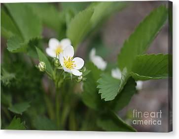 Wild Strawberry Flower Canvas Print