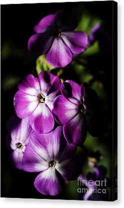Wild Sweet William In Partial Shadow Canvas Print
