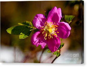 Wild Tundra Rose Canvas Print