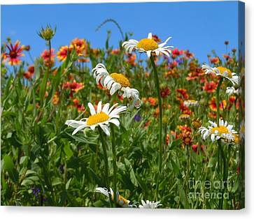 Canvas Print featuring the photograph Wild White Daisies #1 by Robert ONeil