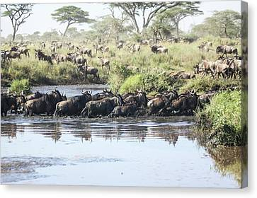 Gnu Canvas Print - Wildebeest Migration by Photostock-israel