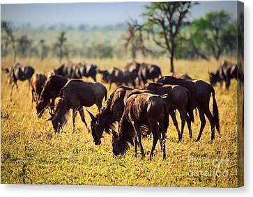 Wildebeests Herd. Gnu On African Savanna Canvas Print by Michal Bednarek