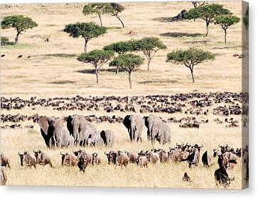 Gnu Canvas Print - Wildebeests With African Elephants by Panoramic Images