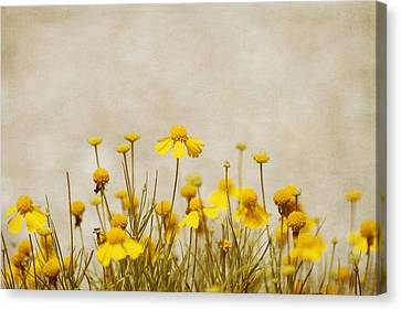 Wildflower Daisies Canvas Print by Kim Hojnacki