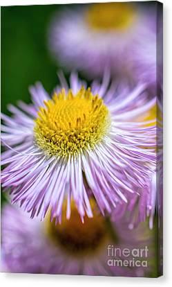 Wildflower - Fleabane - Robin's Plantain Canvas Print