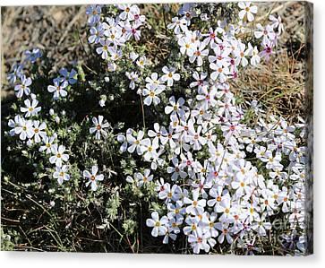 Wildflower Phlox Canvas Print by Carol Groenen