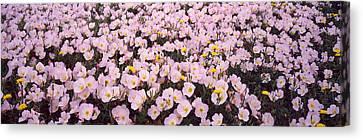 Pink Primroses Canvas Print - Wildflowers Galveston Tx Usa by Panoramic Images