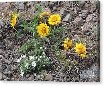 Wildflowers - Rosy Balsamroot With Cushion Phlox Canvas Print by Carol Groenen
