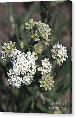 Wildflowers - White Yarrow Canvas Print by Carol Groenen