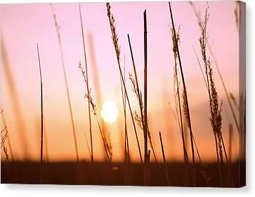 Wildgrass Sunset Canvas Print by David Schoenheit