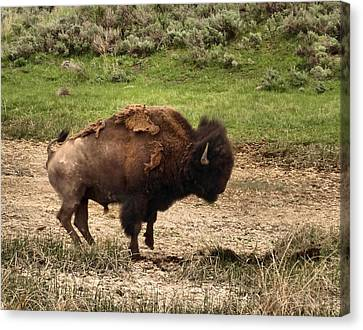 Wildlife-angry Bison Canvas Print by Dan Sproul
