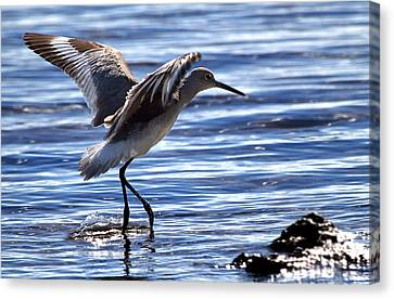Willet Coming In To Land At Boca Chica Florida Keys Canvas Print by Mr Bennett Kent