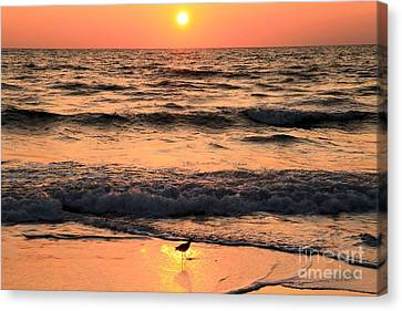 Willet In The Spotlight Canvas Print by Adam Jewell
