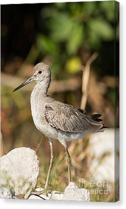 Jn Ding Darling National Wildlife Refuge Canvas Print - Willet Walking Near The Water by Natural Focal Point Photography