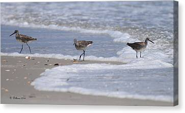 Willets On Ocracoke Canvas Print by Dan Williams