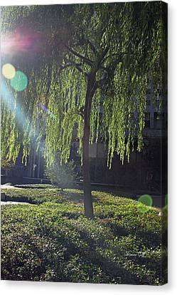 Willow Magic Canvas Print by Suzanne Gaff