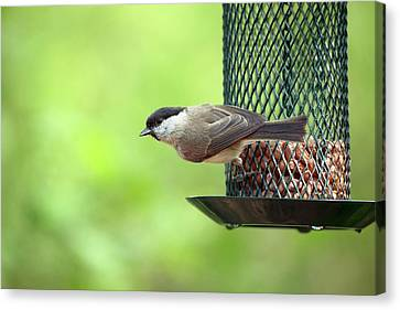 Willow Tit On A Bird Feeder Canvas Print by Simon Booth