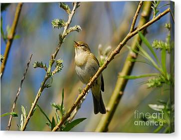 Willow Warbler Singing In Spring Canvas Print by John Kelly