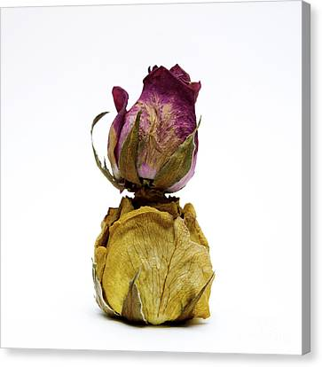 Wilted Rose Canvas Print by Bernard Jaubert