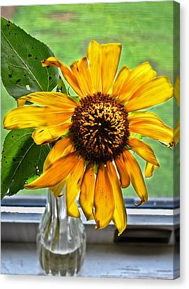 Wilting Sunflower In Window Canvas Print