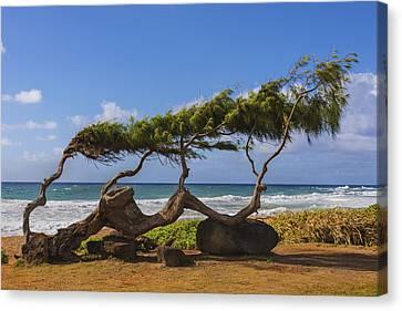 Wind Blown Tree Canvas Print - Wind Blown Tree 2 - Kauai Hawaii by Brian Harig