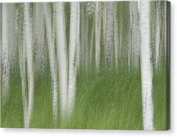 Wind In The Aspen Canvas Print by Nancy Myer