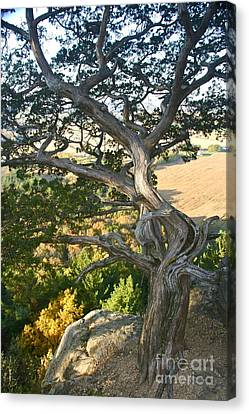 Wind Twisted Tree Canvas Print by Joan McArthur