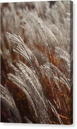 Windblown Grass Canvas Print by Ken Dietz