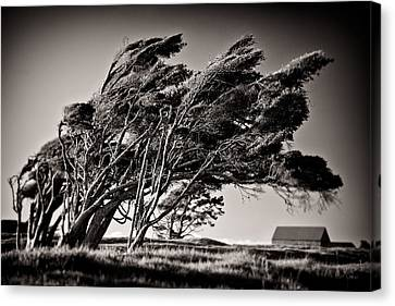 Windswept Canvas Print by Dave Bowman