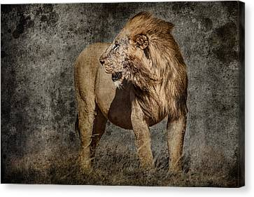 Windswept Lion Canvas Print
