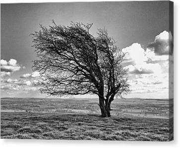 Canvas Print featuring the photograph Windswept Tree On Knapp Hill by Paul Gulliver