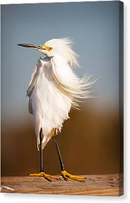 Windy Egret Canvas Print by Tammy Smith