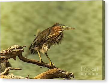 Windy Morn Green Heron Canvas Print by Robert Frederick