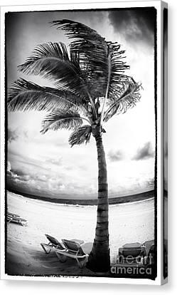 Windy Palm Canvas Print by John Rizzuto