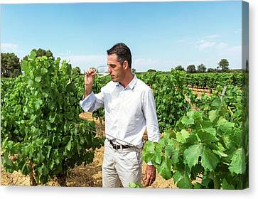 Wine Expert In A Vineyard Canvas Print by Philippe Psaila