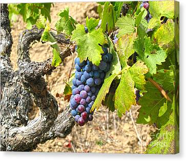 Wine Grapes I Canvas Print by Shari Warren