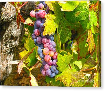 Grape Vines Canvas Print - Wine Grapes II by Shari Warren