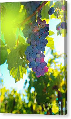 Tasting Canvas Print - Wine Grapes  by Jeff Swan