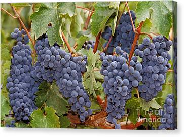 Wine Grapes, Napa Valley Canvas Print by Ron Sanford