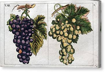 Wine Grapes, Vine, Agriculture, Fruit, Food And Drink Canvas Print by English School