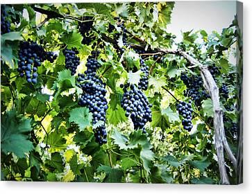 Wine On The Vine Canvas Print by Cricket Hackmann