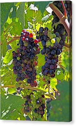 Wine On The Vine Canvas Print