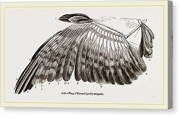 Wing Of Buzzard Canvas Print by Litz Collection